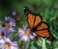 Aster e borboleta monarca em setembro em Montreal<br />Foto Sandra Barone