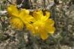 Guamacho (<i>Pereskia guamacho</i>) em flor no Parque Nacional Cerro Saroche, Venezuela<br />Foto JR Ferrer Paris  [Wikimedia Commons]