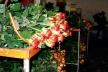 São Benedito, produção de rosas<br />Foto Natália Cheung