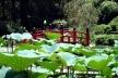 Folhas e botões de lótus e ponte japonesa