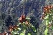 Borboleta monarca colhendo nestar nas flores<br />Foto Sandra Barone