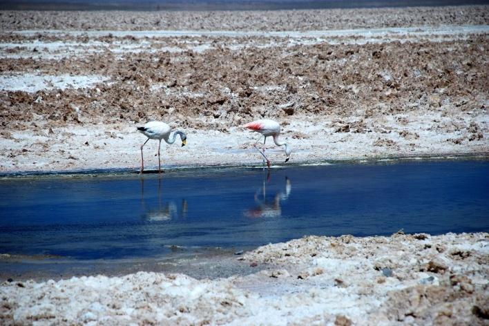 Flamingos na Laguna Chaxa, Salar de Atacama<br />Foto José Tabacow