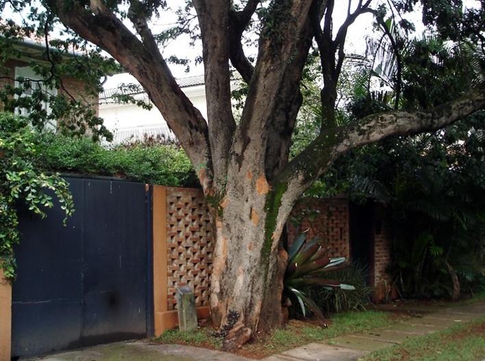 Exemplar de Pau Brasil em São Paulo<br />Foto Rogerio Batagliesi
