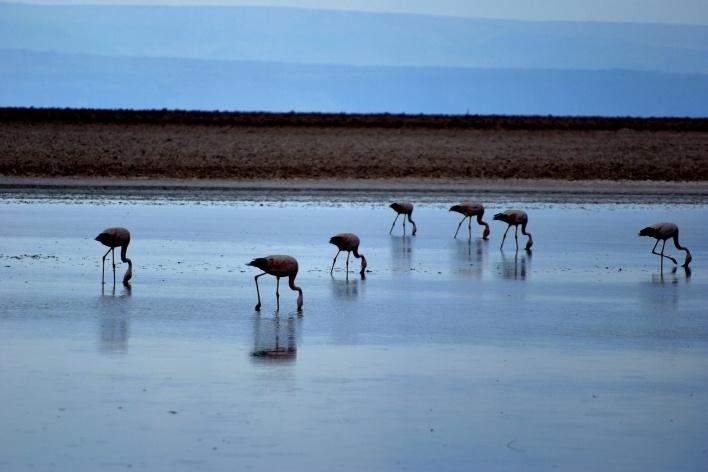 Flamingos na Laguna Chaxa, Salar de Atacama, Chile<br />Foto José Tabacow
