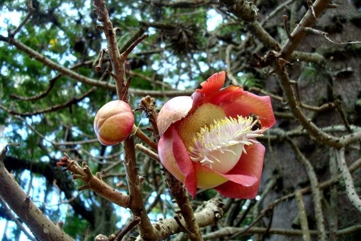 Flores do abricó de macaco