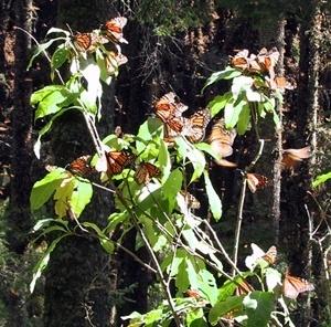 Borboletas monarca colhendo nestar nas flores<br />Foto Sandra Barone