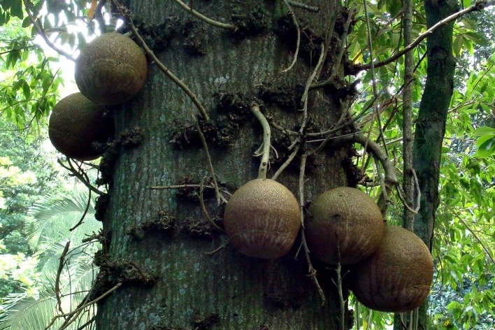 Frutos do abricó de macaco