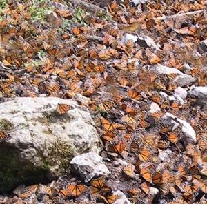 Grupo de borboletas monarcas tomando água<br />Foto Sandra Barone