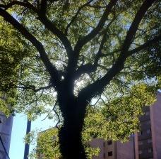 Árvore na Alameda Campinas, São PauloFoto Abilio Guerra