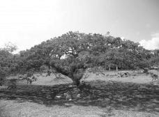 Uma grande árvoreAcervo dos autores, 2012