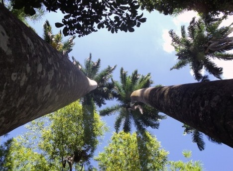 Palmeiras imperiais existentes no Parque Zoobotânico Arruda CâmaraFoto Carlos Silveira
