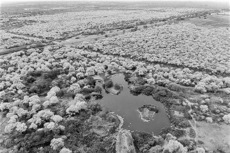 Curarires (handroanthus serratifolius), Jardim de Maracaibo, Venezuela, 1981. Roberto Burle Marx, José Tabacow e Haruyoshi OnoFoto Andy Jons