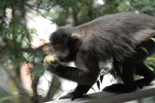 Macaco em nosso balcão com uma cebola<br />Foto Alex Herzog