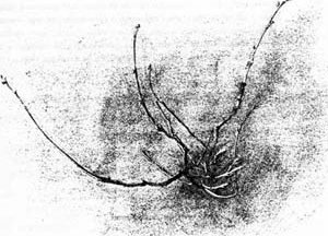 """Desenho de galho"", John Ruskin.  [Ruskin´s Drawings, Asmolean Museum Oxford, 1997, p. 39]"