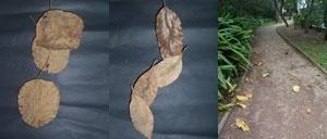 Queda. Folhas secas recolhidas no chão do parque são agrupadas (simulando o desenho que formam na queda) e re-inseridas no espaço do parque