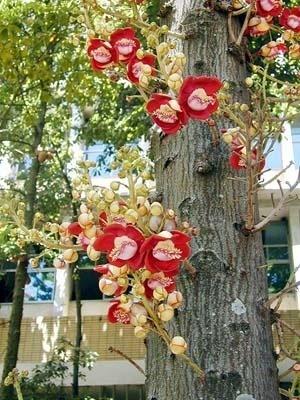 Árvore abricó-de-macaco, couroupita guianensis Aubli, uma das espécies preferidas do paisagista Roberto Burle Marx, nos jardins da FAU-UFRJ<br />Foto Butikofer & de Oliveira