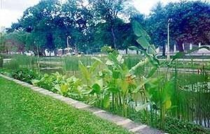A vegetação aquática em um dos jardins retangulares posterior à restauração de 1998. Ao fundo, fileiras de árvore contornando a praça<br />Foto Ana Rita Sá Carneiro